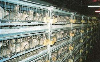 Клетки из сварной сетки на перепелиной ферме.